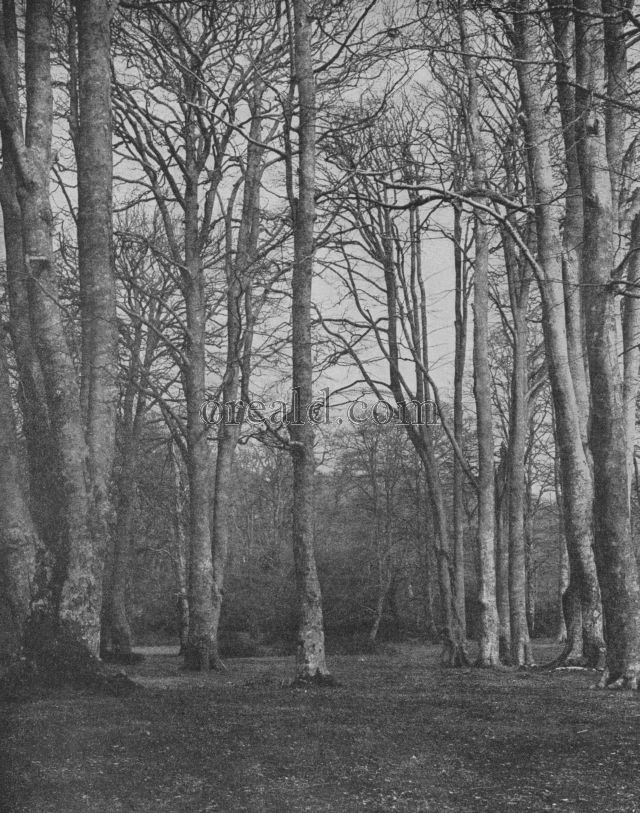 A GLADE IN THE NEW FOREST: STATELY BEECHES BEFORE THE COMING OF THE LEAF