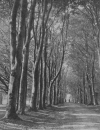 SAVERNAKE'S 'GRAND AVENUE' LIKE A CATHEDRAL NAVE OF BEECH TREES
