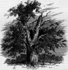 Owen Glendower's Oak